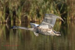 Cygnet in flight (M_R_Curtis) Tags: inflight 2016 stovercountrypark cygnet