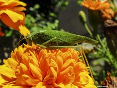 Tettigonia viridissima (Marco Ottaviani on/off) Tags: natura nature insetti insects insecta orthoptera tettigoniidae tettigonia tviridissima cavalletta grasshopper canon marcoottaviani