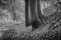 Trees (Rense Haveman) Tags: bw fagussylvatica hemelseberg monochromelandscape nswandeltocht pentaxk5 rensehaveman supertakumar105mmf28 autumn beech forest landscape outdoor stem tree woodland