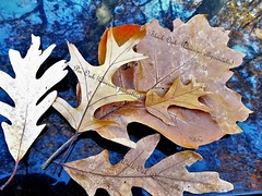 Oak Leaves (Lana Pahl / Country Star Images) Tags: catchycolors colorsofflickr autumnfallcolors autumncolors autumnseason foreverautumn forestwhispers