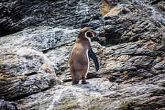 Chile 2013-3717 (sebtac) Tags: chile2013 chile 2013 outdoor 13 reserva nacional pingüino de humboldt