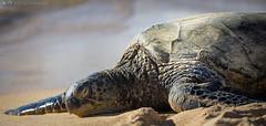 Sea Turtle Basking (lacomj) Tags: hookiipa water turtle beach maui hawaii ocean sea paia unitedstates us
