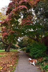 Japanese Maple (Caulker) Tags: london canonspark maple dog motka 08112016