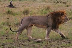 Big male lion. (welloutafocus) Tags: lion cats predator africa kenya