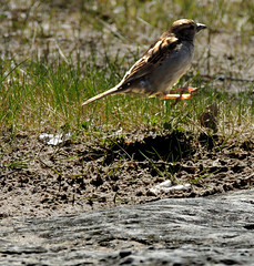 Coming in for a Landing (Sharon's Art Shots) Tags: portdalhousie ontario canada sparrow