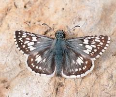 Common Checkered-Skipper (Pyrgus communis) (Rob Santry) Tags: commoncheckeredskipper pyrguscommunis