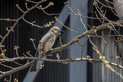 DSCN6390 (jinkemoole) Tags:   animal bird bulbul