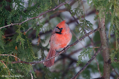 Northern Cardinal (Cardinalis cardinalis)- Young Male (KristenMartyn) Tags: birds backyardbirds birdfeeding naturatours wildbirds wildbirdsunlimitedbarrie bird ontario birding animal outdoor birdfood birdwatching birdfeeder northerncardinal cardinaliscardinalis cardinal