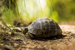 Turtle (Layuee) Tags: nature natural light boke bokeh turtle tortoise green leaves ground earth close up macro shell walking wild animals reptile cute shiny sun bright wildlife outside outdoors