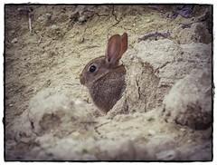 CONEJO (BLAMANTI) Tags: conejos conejo rabbit