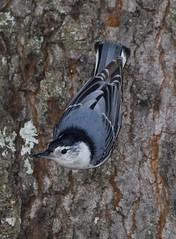 White-breasted Nuthatch (AllHarts) Tags: whitebreastednuthatch backyardbirds cordovatn naturesspirit thesunshinegroup naturescarousel