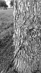 Tree Nature Tree Trunk Tranquility Day Growth Outdoors Beauty In Nature No People Landscape Close-up (lady_with_class_2000) Tags: tree nature treetrunk tranquility day growth outdoors beautyinnature nopeople landscape closeup