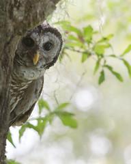 Peek-a-Boo (PeterBrannon) Tags: barredowl strixvaria owl peekaboo funny lakeland florida