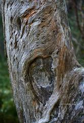 Tree Trunk Detail, Rothiermurcus Forest (I) (Modesto Vega) Tags: cairngormsnationalpark d600 fullframe nikon nikond600 rothiermurcus rothiermurcusforest texture tree treetrunk