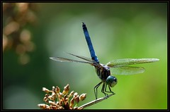 IMG_0020 Point of No Return 8-18-16 (arkansas traveler) Tags: bluedasher dragonfly bichos bugs insects zoom telephoto nature naturewatcher natureartphotography bokeh bokehlicious