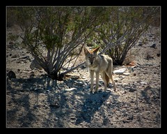 Coyote III (Seeing Things My Way...) Tags: coyote dog wildlife desert sand deathvalley nevada california usa