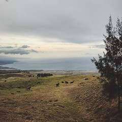 Hawaiin cattle ranch on top of a mountain overlooking the ocean below. Such amazing changes in weather and topography. Went from walking along a black sand beach to a quick drive up to 3500 feet and evergreen trees next cactuses! Amazing places on the Big (jc_iverson (Imagery by Jordan)) Tags: instagram iphone iphoneography imagerybyjordan square iphone5 cameraphone photo jordaniverson