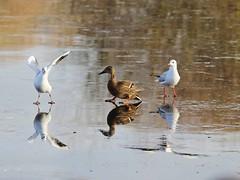 """Look at me. I'm Skating"". (Wildlife Terry) Tags: facebook album strictly birds onice winter 2016 winterleypool haslington between crewesandbach gulls ducks swans coots moorhens herons skating cheshire"