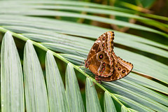 2016-10-19_15-04-17 (dans_photos) Tags: 2016 morpho nationalbotanicgardenofwales october southwales wales amazonian butterfly