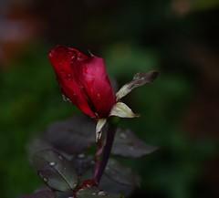LA ROSA (ameliapardo) Tags: flores rosas lluvia otoo gotas colores andaluca sevilla espaa