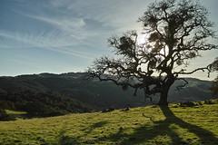 Oakridge (tourtrophy) Tags: morganterritoryregionalpreserve morganterritory oaktree oak eastbayregionalpark sigmadp1merrill foveon bobwalkerridge volvontrail tree