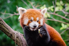 Red Panda (Mathias Appel) Tags: grn red panda animal tier roter kleiner nikon d7000 bokeh cute adorable sweet niedlich ss sues suess tree green endangered species bedrohte tierart zoo tierpark deutschland germany female weiblich young jungtier bamboo baum jung ears ohren face gesicht tail schwanz nose nase orange fur fell high iso animals nature natur wildlife bedroht ailurus fulgens vintage 2015 mozilla firefox feet paws paw foot wochenende weekend spring frhling depth depthoffield field blur