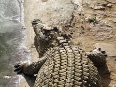 Aligator_3 (@ FS Images) Tags: tieresdafrikatieparklandwasser aligator liegend kopfbisbrust