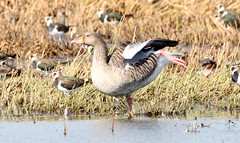 Greylags (ray 96 blade (retired)) Tags: greylags goose lapwings itch scratch birds wildlife englishnature