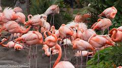 Flamingo nesting area-0239 (rob-the-org) Tags: sandiego flamingos noflash cropped f80 seaworld sandiegoca iso125 250mm 1160sec 18250mm