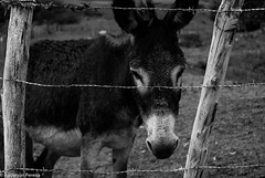 CERCAdo (Anderson Pereira.13) Tags: animal rural de sadness sad triste burro campo stio jumento domestico fazenda transporte fotojornalismo meio preso cercado crcere fotodocumentrio