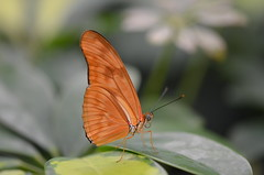 Vuurpassiebloemvlinder (Dryas iulia) (Frank Berbers) Tags: butterfly insect lepidoptera schmetterling vlinder juliabutterfly vlindertuin passiebloemvlinder orchideenhoeve schubvleugeligen vlindertuinorchideenhoeve