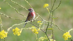 Linotte mlodieuse, Am, n (R, 2014-05-04_4) (th_franc) Tags: oiseau linottemlodieuse