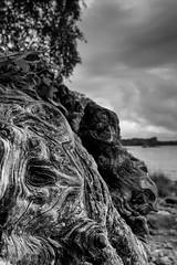 Shapes in the Wood (npinks) Tags: millarochybay lochlomond tree stump shapes grain blackwhite bw