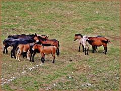 Pferde - Horses (aNNa schramm) Tags: horses fauna tiere outdoor feld wiese landschaft pferde cavalli tier grasland