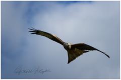 Red Kite 1 (candicemorganphotography) Tags: sky bird action flight raptor birdofprey acrobatic redkite sonyalpha850 sony70400mmf4056g2ssm