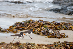 Left right, left right (patch7907) Tags: seaweed beach nikon 300mm f4 oystercatchers d610