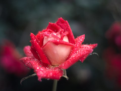 (Josh Meek) Tags: pink flowers autumn red roses mist flower fall water rain rose photoshop canon garden 50mm virginia cool bokeh magenta raindrops 50mm18