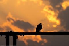 sunset pigeon (gemapozo) Tags: japan tokyo shinjuku pentax pigeon   smcpda60250mmf4edif