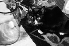 Al (cleo java bean) Tags: white black cat tuxedo