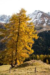 Deux arbres, j'en suis sur (La Tarrask) Tags: automne switzerland suisse swiss paysage arbre valais valdentremont bourgstpierre creuxdelaniord