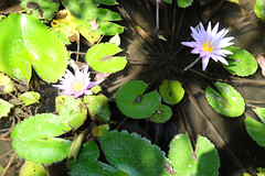 Water lillies (tord_remme) Tags: flower green nature water thailand waterlilies lillies
