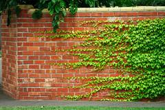 The Corner is Mine (DrSchabbs) Tags: life street red urban orange plant brick green wall grow vine australia melbourne victoria stretch sidewalk story brickwall imagine imagination elwood stkilda recaptured naturevsman manvswild fakeituntilyoumakeit makeitupasyougo