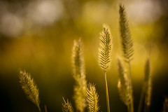 glowing (andy_8357) Tags: blur wild grass golden wonderland lake boulder backlighting backlight backlit serene peaceful macro bokeh delicious food grain sony a6000 6000 ilce6000 ilcenex canon 50mm f14 fd 10mm extension tube manual focus vintage prime monday beautiful quiet selective simple simplicity warm inviting mysterious atmosphere atmospheric mood calm glow glowing bokehlicious mirrorless mondays outdoor plant green macromondays natural nature lens soft softness creamy alpha colorado field shadow shadows brown