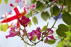 Beauty at Faith Hospital grounds. (Simone Scott) Tags: flowers islands flag cayman caymanislands caymanbrac hospitalgrounds simonescott