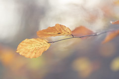 Life's a Beech (aveyardphotography) Tags: autumn trees light blur tree fall leaves forest woodland leaf soft bokeh calming calm serene beech subtle