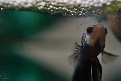 Betta with Bubble Nest (Sarah_Brigham) Tags: blue pet white fish color green nature water animal closeup digital swimming photography aquarium living photo nikon bubbles scales bubble aquatic creature betta fresco blueandwhite siamesefightingfish animalphotography bettafish bubblenest nikond5200 sarahbrigham genavelle