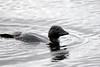 Musk Duck (Biziura lobata) (LauriusV) Tags: familyanatidae orderanseriformes englishmuskduck genusbiziura speciesbiziuralobata