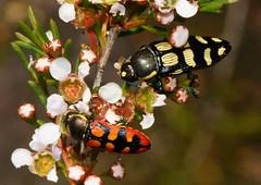 Hey mate these are great ! (ron_n_beths pics) Tags: westernaustralia buprestidae jewelbeetles perthbushland