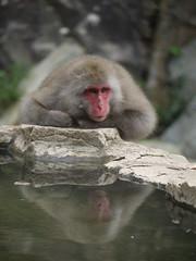 Snow Monkey Park (fee-ach) Tags: japanese macaque japanesemacaque monkey japan