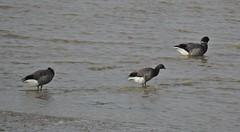Brent Geese (mike_j's photos) Tags: spurn head point humberside humber river northsea ywt yorkshirewildlifetrust